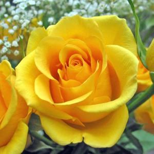 plain yellow rose